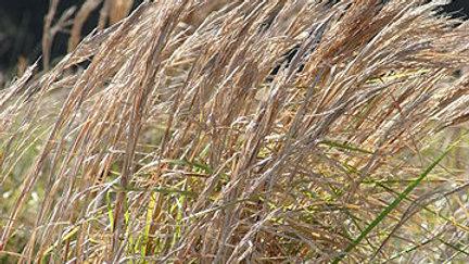 Andropogon virginicus (Broom Sedge)