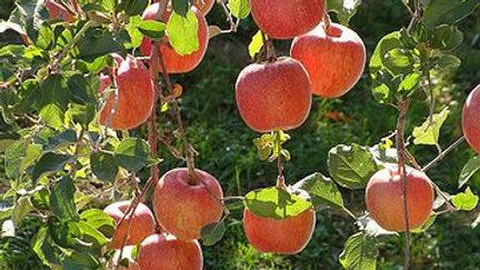 Malus Pumila (Common Apple)