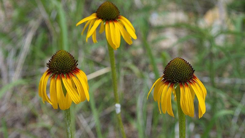 Echinacea paradoxa (Bush's Coneflower)
