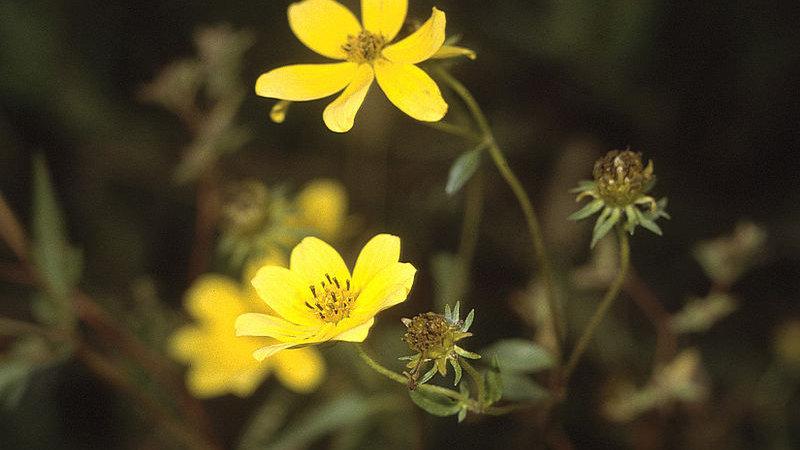 Bidens aristosa (Showy Tickseed Sunflower)