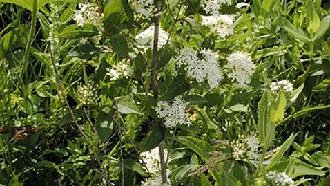 Cornus racemosa (Grey Dogwood