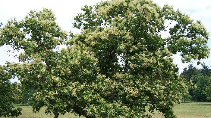Castanea dentata (American Chestnut)