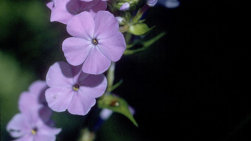 Phlox maculata (Wild Sweet William)