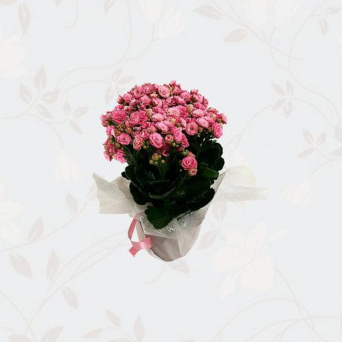Vaso Mini Calandiva
