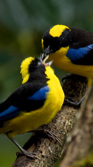 Blue-wing Mountain Tanager