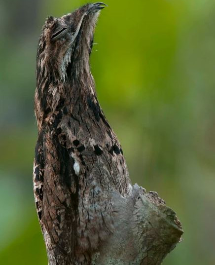 Common Potoo