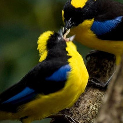 Blue Wing Mountain Tanager