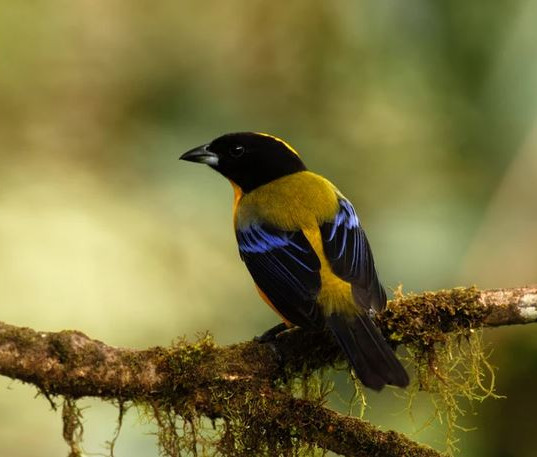Black Chinned Mountain Tanager