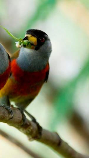 Toucan barbets