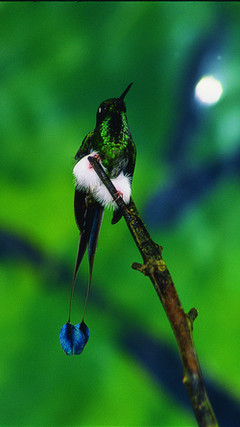 Booted raquet tail Hummingbird