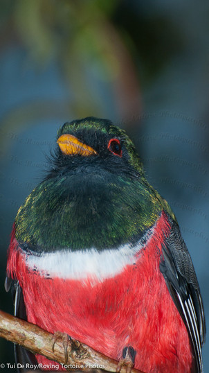 Masked Trogon Male