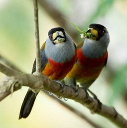 Toucan Barbets