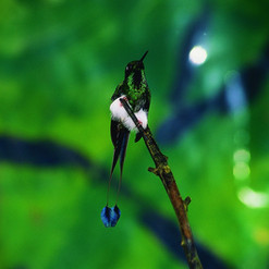 Booted Raquet Tail