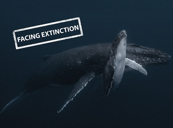Facing Extinction Whales.jpg