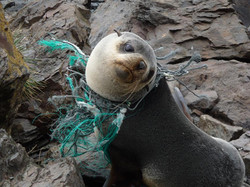 Seal plastic pollution