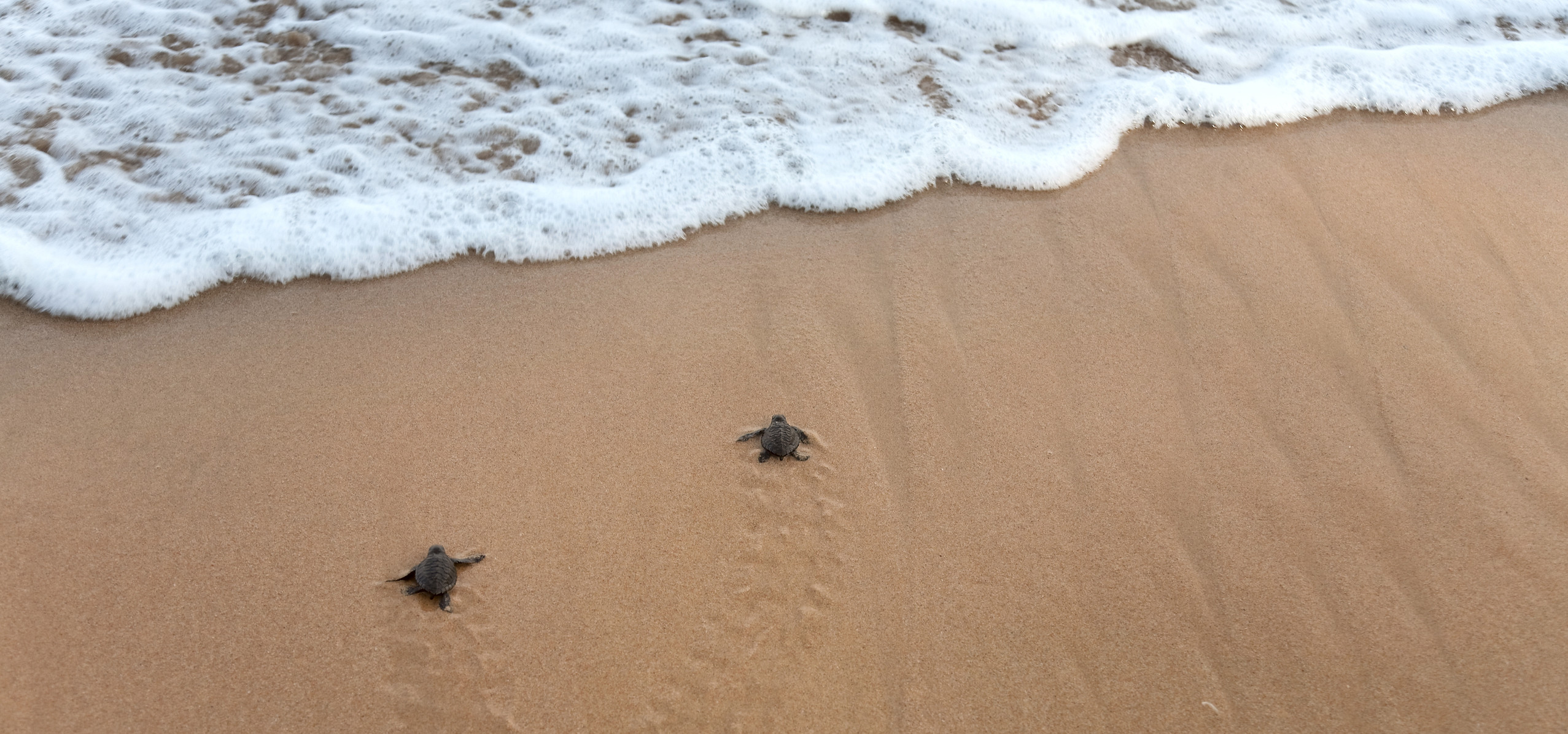 BabyTurtles_on_the_beach.jpeg