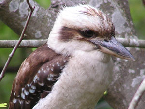 kookaburra bird watching