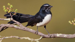 willy wagtail bird watching