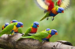 Lorrikeets bird watching