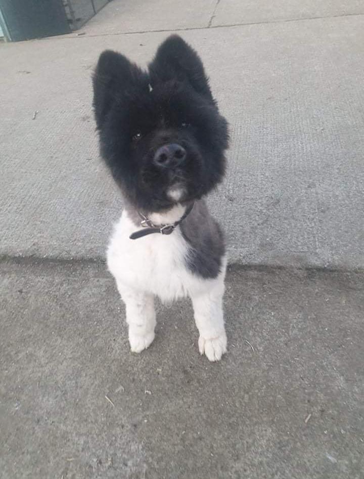 Django fluffy face