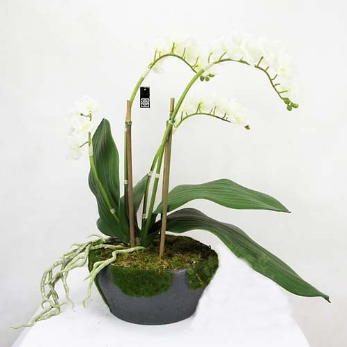 MOSH ORCHID LARGE