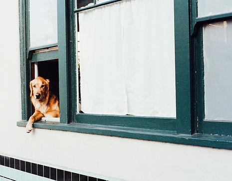 dog in window green retriever
