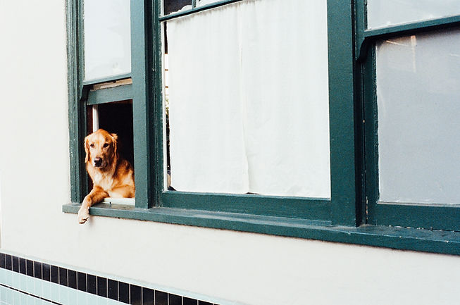 Golden retriever with paw hanging out of a window