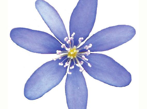 motiv til broderi - Blå Anemone