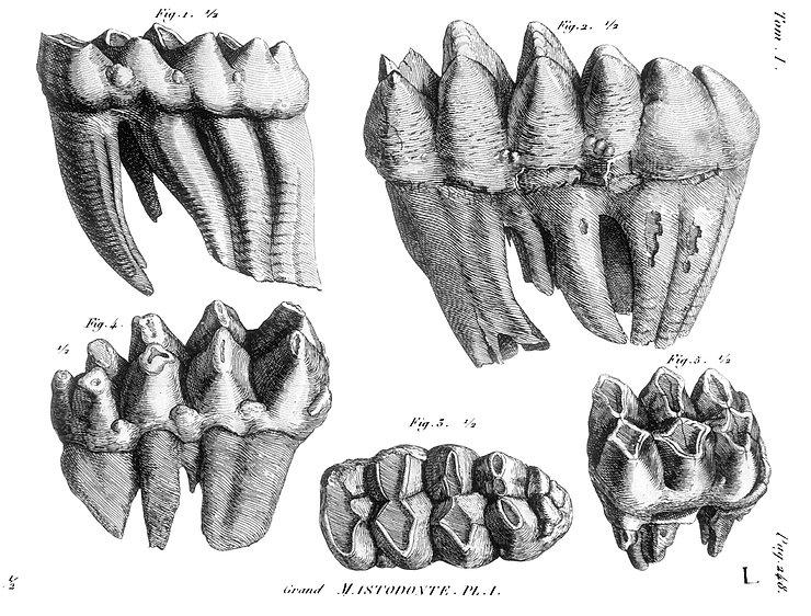 Mammoth_Teeth.jpg