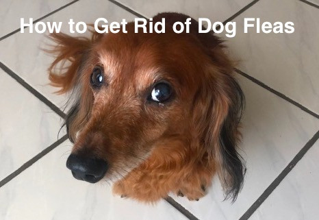 5 Steps to Get Rid of Dog Fleas