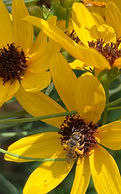 flowers%20tall%20coreopsis%20bee_edited.