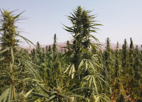 7 Murdered At California Illicit Marijuana Operation