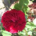 Rose au jardin vouland.jpg