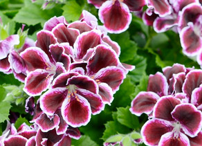 Do You Know That Geranium Smells Differently With Age?