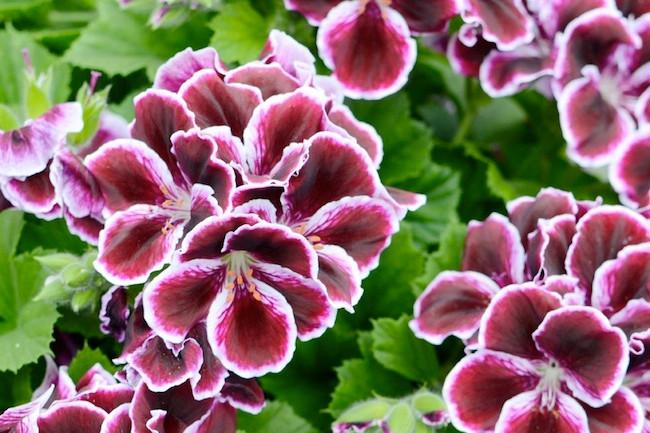 azendea geranium