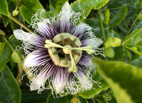 Herbal Series - Passion Flower