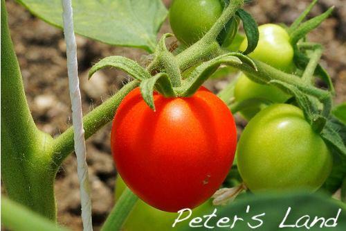 Tomaten und Paradeiser aus dem Waldviertel