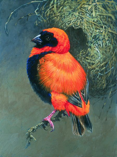 Orange Bishop Bird