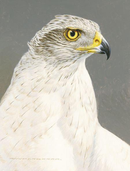 White Goshawk