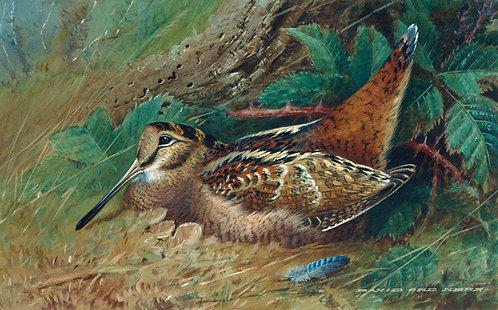 Woodcock 1