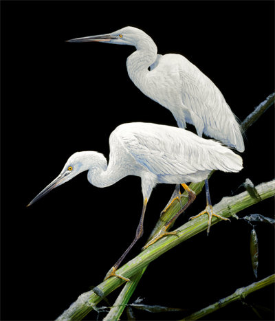 Great White Herons