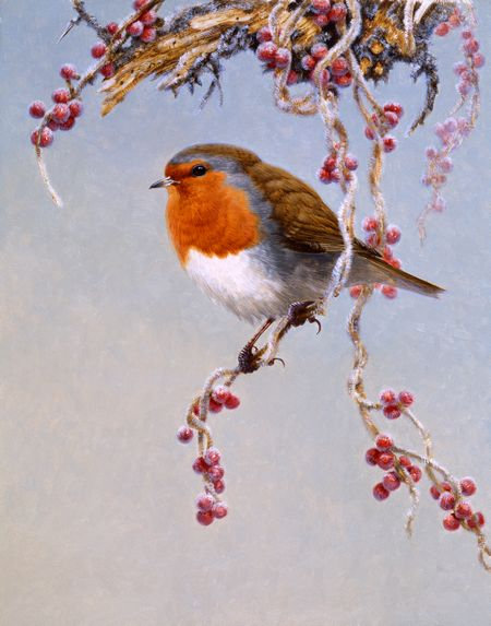 Robin on Black Briony