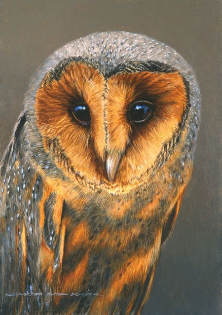 Dark Breasted Barn Owl