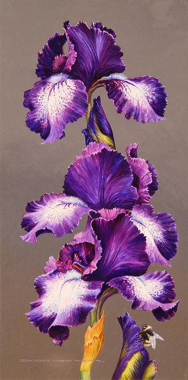 Mauve Iris