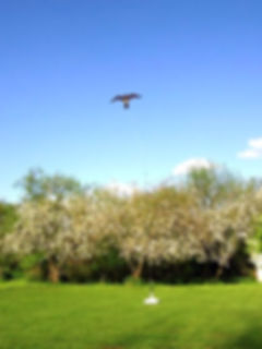 Hawk Kite with Pole birdcscarer 2015-7-2