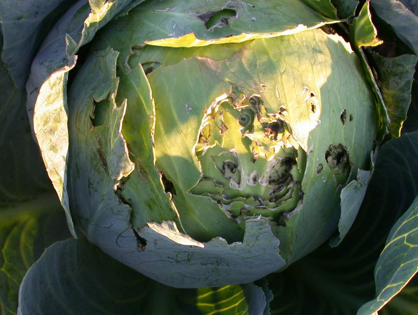 Austrian cabbage damaged by birds