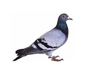 Pigeon Pest Control (2).jpg