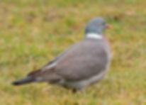 Woodpigeon 1.jpg