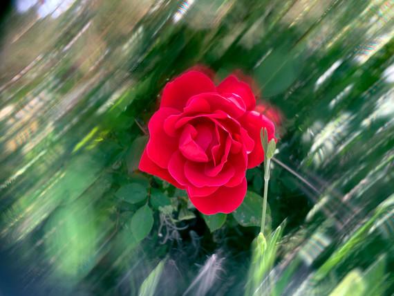Rose, 2021_