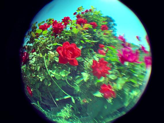 Fisheye Rose, 2021_
